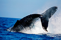 humpback whale, Megaptera novaeangliae, peduncle throw, Kohala Coast, Big Island, Hawaii, USA, Pacific Ocean