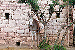 A donkey tied to a tree, Morocco