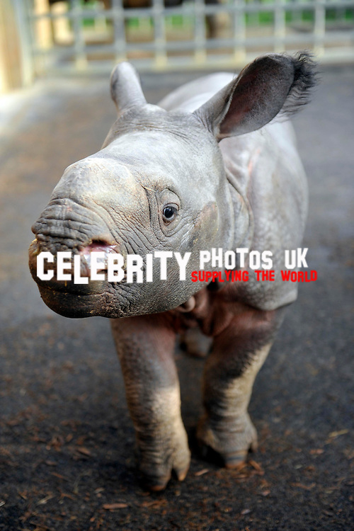 Greater One Horned Rhinosauras..Jamil, the four week old Greater One Horned Rhinosauras made its  first public appearance and has its first shower as keepers at the zoo do  their annual stocktake at Whipsnade Zoo on January 8, 2013 in Dunstable, England.