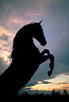 Silhouette of a horse rising up on hind legs.
