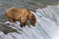 Brown bears fish for salmon at Brooks Falls, Katmai National park, southwest, Alaska.