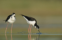 Black-necked Stilt, Himantopus mexicanus, pair mating, Welder Wildlife Refuge, Sinton, Texas, USA