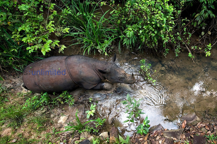 Sumatran rhino (Dicerorhinus sumatrensis) - walking through stream.Way Kambas National Park, Lampung Province, southern Sumatra, Indonesia.Critically endangered / threatened species - fewer than 200 left.Captive - Sumatran Rhino Sanctuary within the park