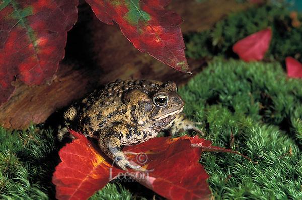 American Toad in maple leaves..Nova Scotia, Canada..Bufo americanus.