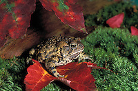 American Toad in maple leaves..Nova Scotia, Canada..Bufo americanus.