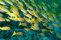 School of blue stripe snapper (lutjanus kasmira), Ari Atoll, Maldives.