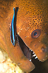 Giant Moray, Gymnothorax javanicus, being cleaned by a juvenile Bluestreak Cleaner Wrasse, Labroides dimidiatus, Yap, Micronesia, Pacific Ocean