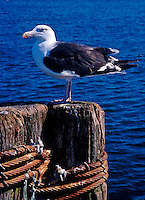 Seagull on dock.