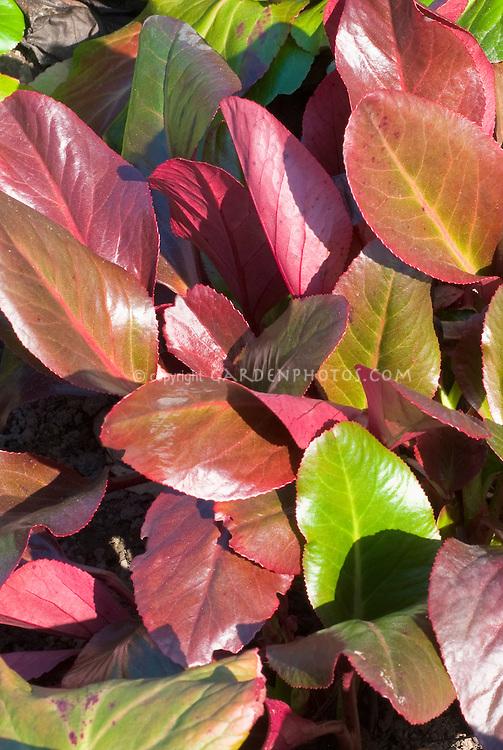 Bergenia 'Glasnevin' 43 in spring color foliage