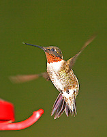 Adult male ruby-throated hummingbird hovering at feeder