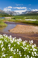 College creek, Alaska cotton, Alaska Range mountains.