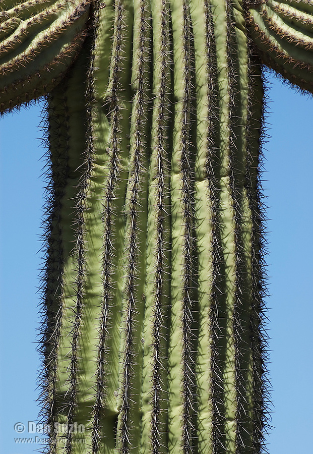 Ribbed trunk of saguaro, Carnegiea gigantea. Organ Pipe Cactus National Monument, Arizona.