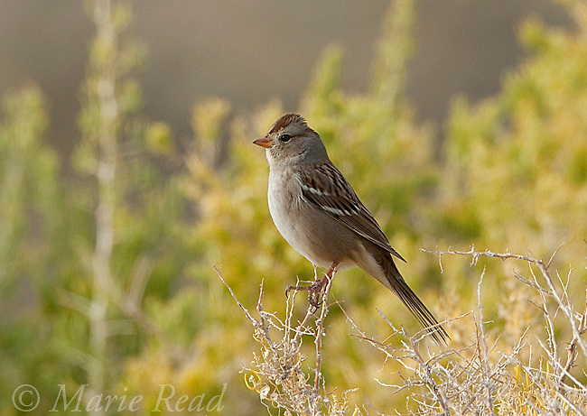 White-crowned Sparrow (Zonotrchia leucophrys), immature, Mono Lake, California, USA