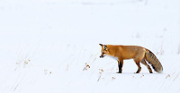 I had a nice session with a couple of hunting foxes during the last day of my December trip.