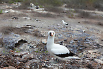 Genovesa Island with a large population of nesting sea birds in the Galapagos National Park, Galapagos, Ecuador