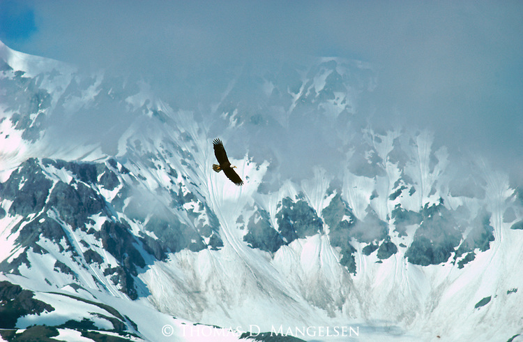 A bald eagle in flight backdropped by snow-covered mountains in Alaska.