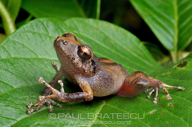 Leaf Frog (Eleutherodactylus cerasinus)