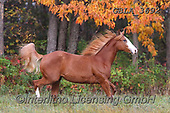 Bob, ANIMALS, REALISTISCHE TIERE, ANIMALES REALISTICOS, horses, photos+++++,GBLA3692,#a#, EVERYDAY