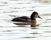Adult female ring-necked duck