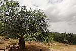 Israel, the Upper Galilee. Fig tree (Ficus carica) in Biria forest
