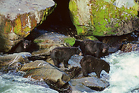 Black Bears (Ursus americanus) fishing for salmon along West Coast salmon stream.  August.