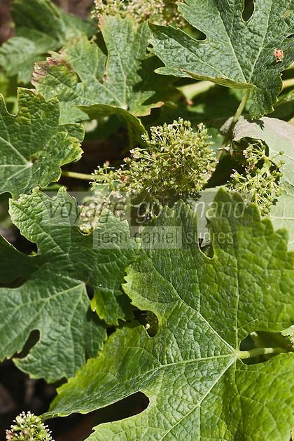 Europe/France/Aquitaine/33/Gironde/Saint-Seurin-de-Cadourne: Château Verdignan: Le Vignoble - Terroir de Graves<br /> Vigne en fleur