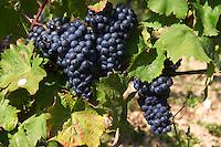 Bunches of ripe grapes. Vine leaf. Grollot, grolleau variety. Chateau de Passavant, Anjou, Loire, France