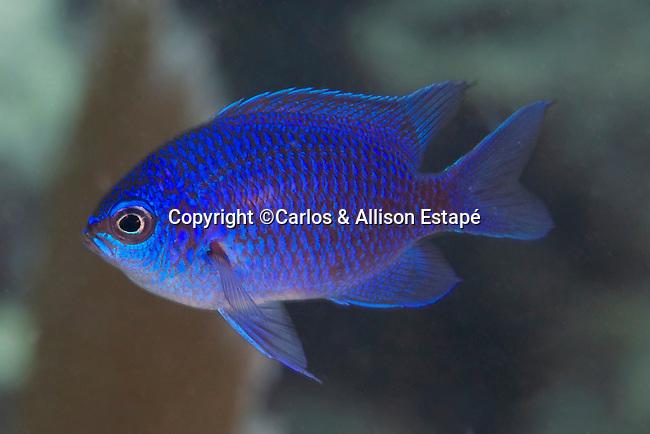 Chromis scotti, Purple reeffish, Florida Keys