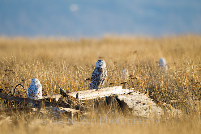 "Snowy Owls (Bubo scandiacus) roosting on coastal driftwood. The immature female in the center is giving the ""mewing whistle"" call as a territorial signal to other owls. Grays Harbor County, Washington. December."