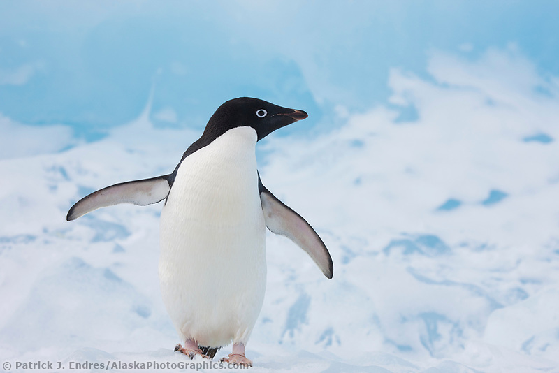 Adelie penguin hauled out on floating icebergs near Paulet Island, Antarctic Peninsula.
