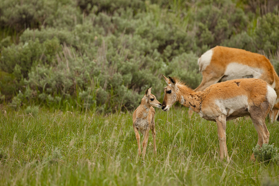 A young pronghorn antelope and it's mother touch noses in a grassy field.