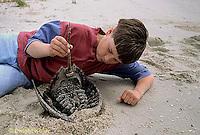 1Y47-334x   Horseshoe Crab - boy examining horseshoe crab -  Limulus polyphemus