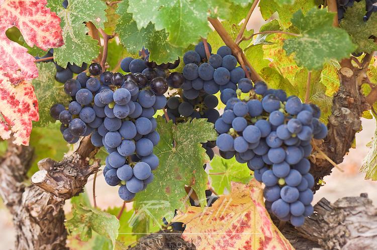 USA, WA, Yakima Valley, Cabernet Franc Grapes (Selective Focus)