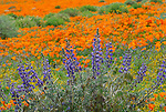 California poppies, lupine