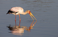 The yellow-billed stork is another of Africa's many stork species.