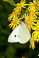 Großer Kohlweißling, Pieris brassicae, Blütenbesuch auf Jakobs-Greiskraut, Nektarsuche, saugt Nektar mit langem Saugrüssel, Grosser Kohlweissling, large white, Cabbage Butterfly, Cabbage White, Large Cabbage White, White cabbage butterfly