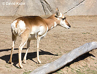 0606-1118  Pronghorn (Prong Buck), Antilocapra americana  © David Kuhn/Dwight Kuhn Photography