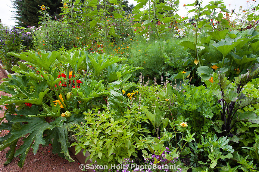 Intercropping home vegetable garden (squash, chard, eggplant) with herbs and flowers for healthy soil, intensive yield, and beneficial insects