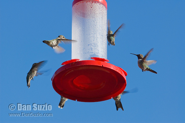 Hummingbirds at feeder; most are Anna's hummingbird, Calypte anna. Santa Cruz Mountains, California.