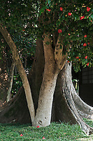 Camellia blossoms in an ancient tree in the Suizen-ji garden