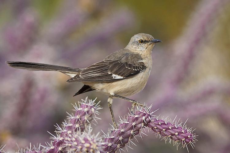 Northern Mockingbird - Mimus polyglottos - Sub-adult