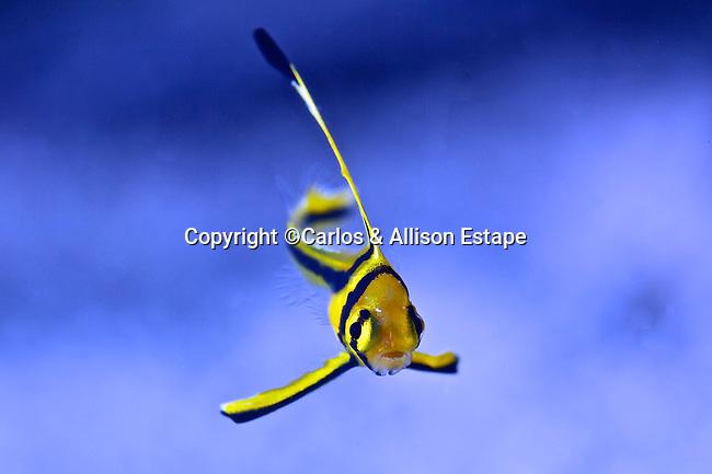 Equetus lanceolatus, Jackknife fish, juvenile, Florida Keys