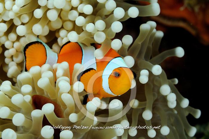 Amphiprion ocellaris, Westlicher Clownfisch in Seeanemone, western clown-anemonefish in sea anemone, Bali, Indonesien, Indopazifik,  Bali, Indonesien, Asian, Indopazifik, Indonesia, Indo-Pacific Ocean, Asia