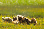 A mother brown bear nurses her cubs in Lake Clark National Park, Alaska.  Photo by Gus Curtis.