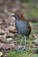 Chestnut-naped Antpitta; Grallaria nuchalis; Ecuador, Prov. Zamora-Chinchipe, Tapichalaca Biological Reserve