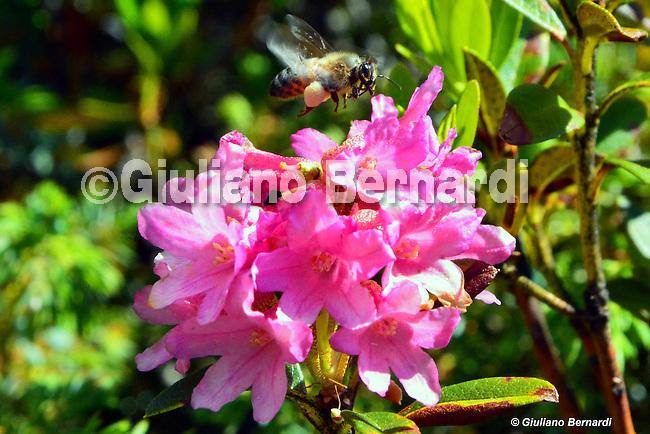 Ape con rododendro immagini di apicoltura, api, sciami, smielatura, nettare, polline, varroa,foto apicoltore, foto alveare, foto apiario,Beekeeping images, bees, swarms, honey extraction, nectar, pollen, mite, photo beekeeper picture beehive, apiary photos,Bienenzucht Bilder, Bienenschwärme, Honiggewinnung, Nektar, Pollen, Milben, Foto Imker Bild Bienenstock, Bienenhaus Fotos,養蜂画像、蜂、群れ、蜂蜜抽出、蜜、花粉、ダニ、写真の養蜂家画像蜂の巣、養蜂場の写真,Пчеловодство изображений, пчел, рои, добыча меда, нектара, пыльцы, клещей, фото пчеловод картинки улей, пасеки фото,Birøkt bilder, bier, svermer, honning utvinning, nektar, pollen, midd, foto birøkter bilde bikube, apiary bilder,Biodling bilder, bin, svärmar, honung utvinning, nektar, pollen, kvalster, foto biodlaren bild bikupa, bigården bilder,Imkerij afbeeldingen, bijen, zwermen, honing te winnen, nectar, pollen, mijt, foto imker beeld bijenkorf, bijenstal foto's