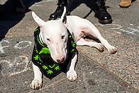 "New York, USA - Bull Terrier ""Archilles"" wearing a marijuana patterned bandana. Marijuana advocates rally in Union Square to demand a legal market for cannabis in New York City and what they call the end to the use of drug law as a tool for social control and mass incarceration. ©Stacy Walsh Rosenstock"
