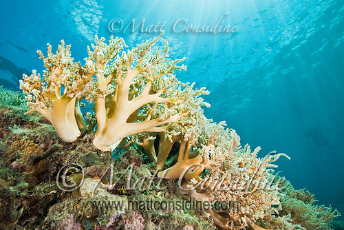 Soft coral with sunbeams, Palau Micronesia. (Photo by Matt Considine - Images of Asia Collection) (Matt Considine)