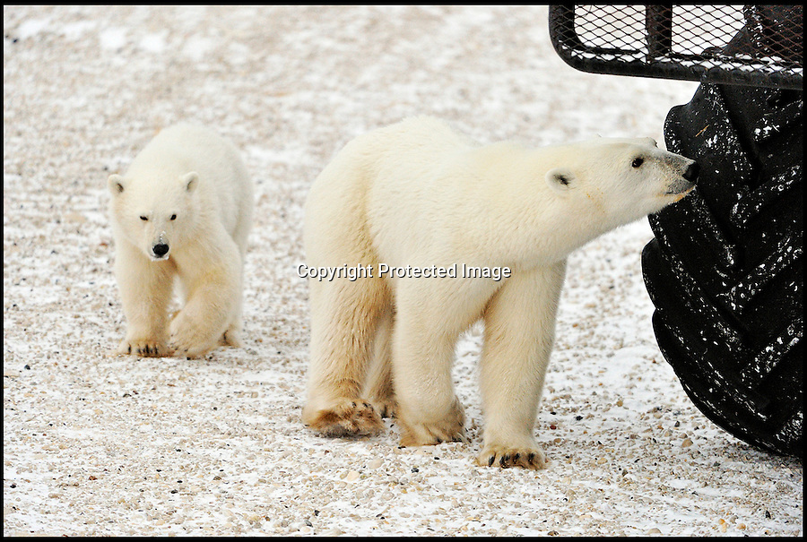BNPS.co.uk (01202 558833)<br /> Pic: DonJohnston/BNPS<br /> <br /> ***Please use full byline***<br /> <br /> This is the moment a starving half-tonne polar bear resorts to licking oil and grease from the underside of bus in a desperate attempt to find a meal in Hudson Bay, Canada. <br /> <br /> The enormous mother bear was driven to the last-ditch act after going hungry for a five months due to a lack of food.<br /> <br /> Polar bears normally feed on seals caught on huge sections of sea ice - but when the ice melts in the summer months they are forced back to land where food is scarce.<br /> <br /> So hungry was the mother that she and her cub were forced to feast on the lubricants on the undercarriage and wheels of a tourist sightseeing bus.<br /> <br /> Thankfully the tour company have realised the bizarre feeding habits of the bears and opted to use 'edible' oils that do not harm them.