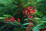 Red flowers on a Flame Tree or Royal poinciana, Delonix regia, in bloom in Palenque National Park, Chiapas, Mexico.  A UNESCO World Heritage Site.